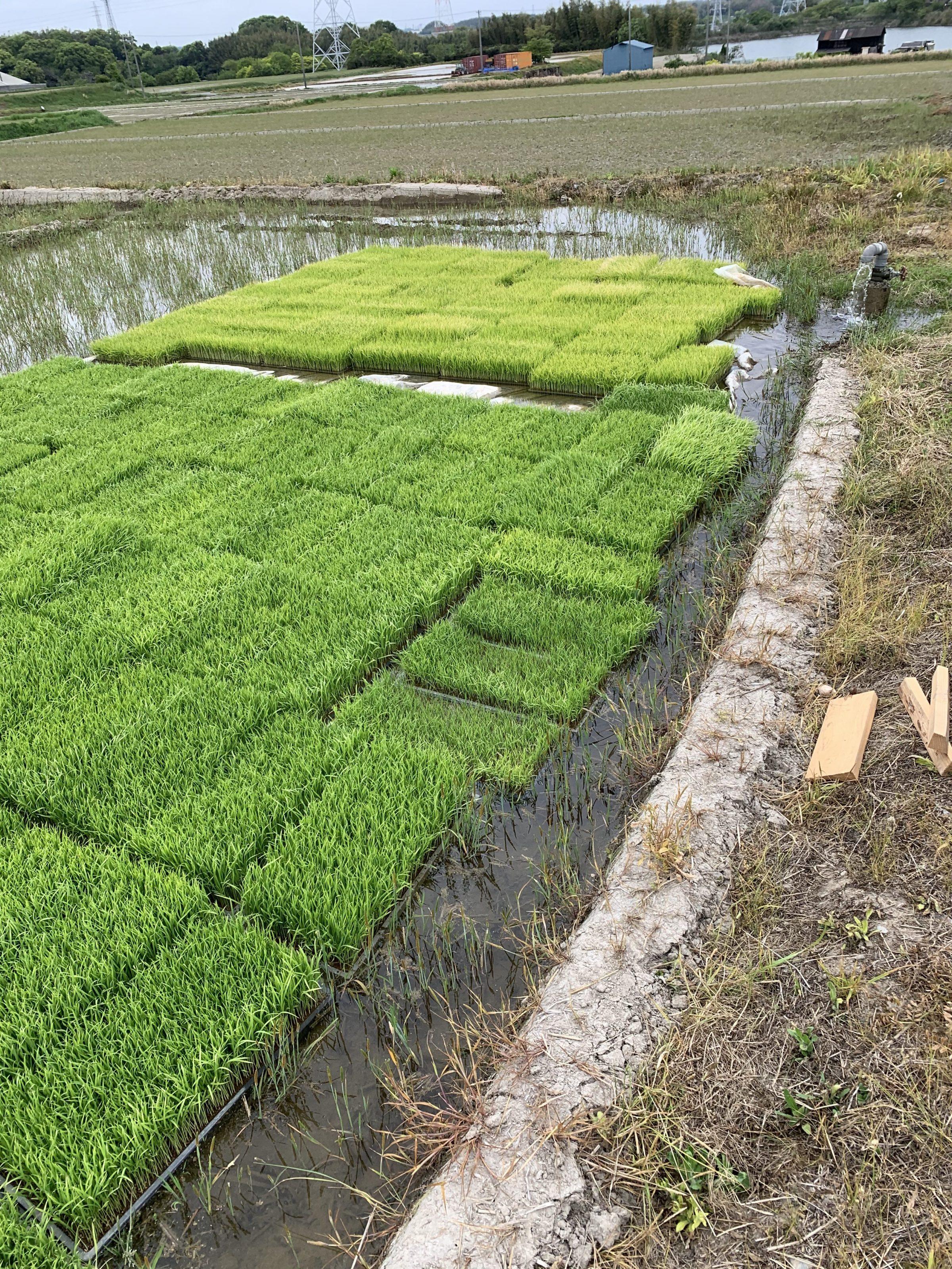 これは猪苗代です。もう田植えが始まっています。