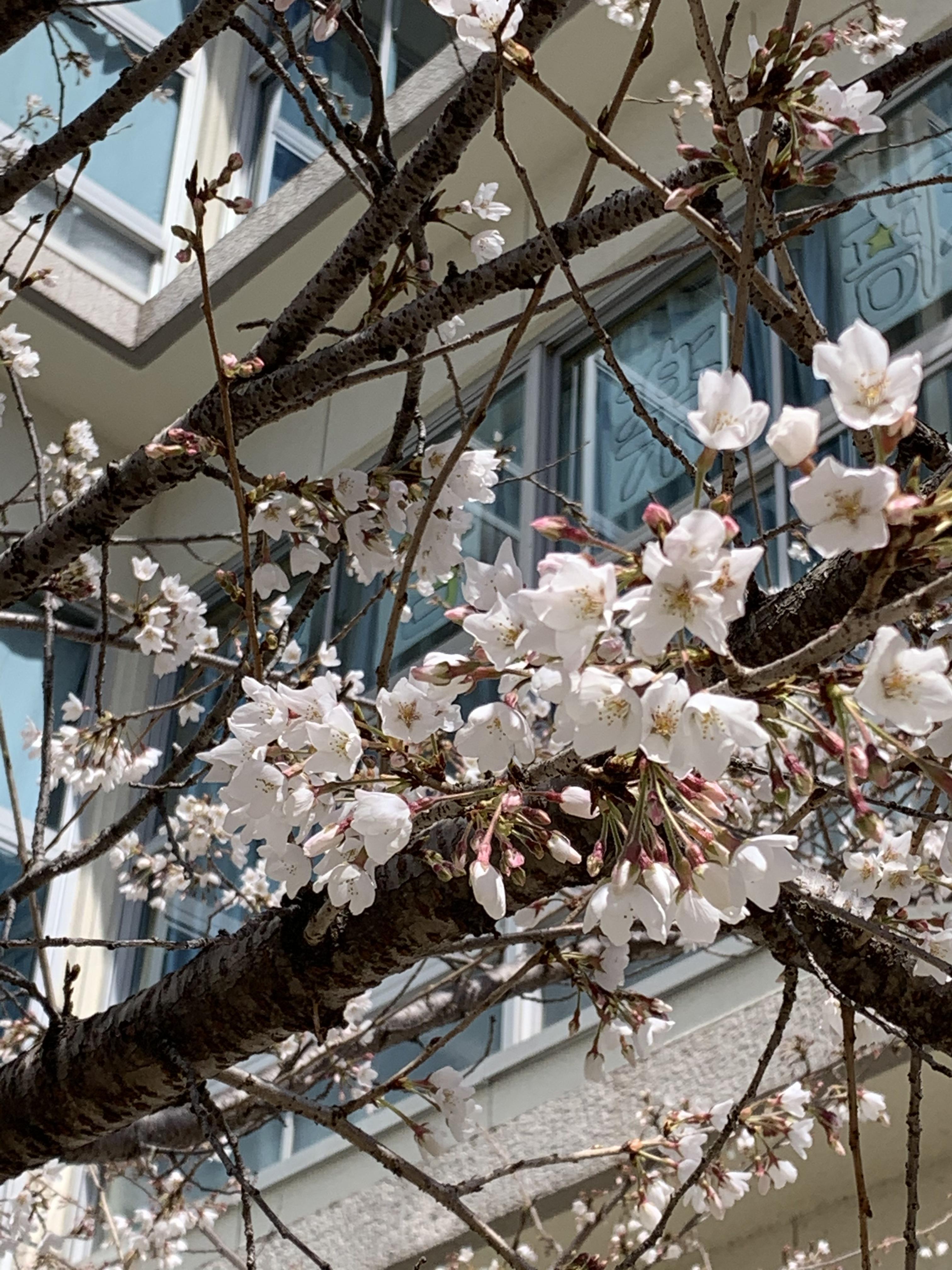 本校で最も早く咲く桜は、4号館脇のソメイヨシノです
